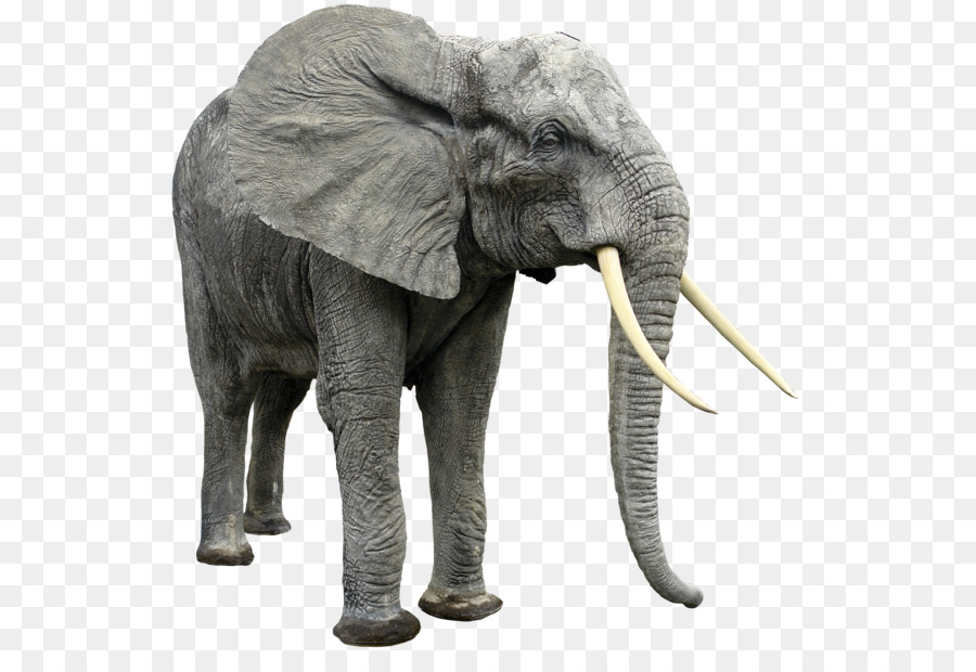 Elephant Background Png Download 600 605 Free Transparent African Bush Elephant Png Download Cleanpng Kisspng Large collections of hd transparent elephant head png images for free download. clean png