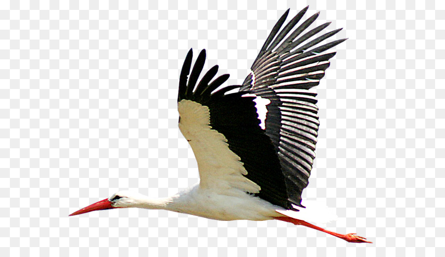Cartoon Bird Png Download 650 519 Free Transparent White Stork Png Download Cleanpng Kisspng