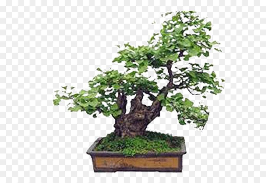 ginkgo biloba bonsai
