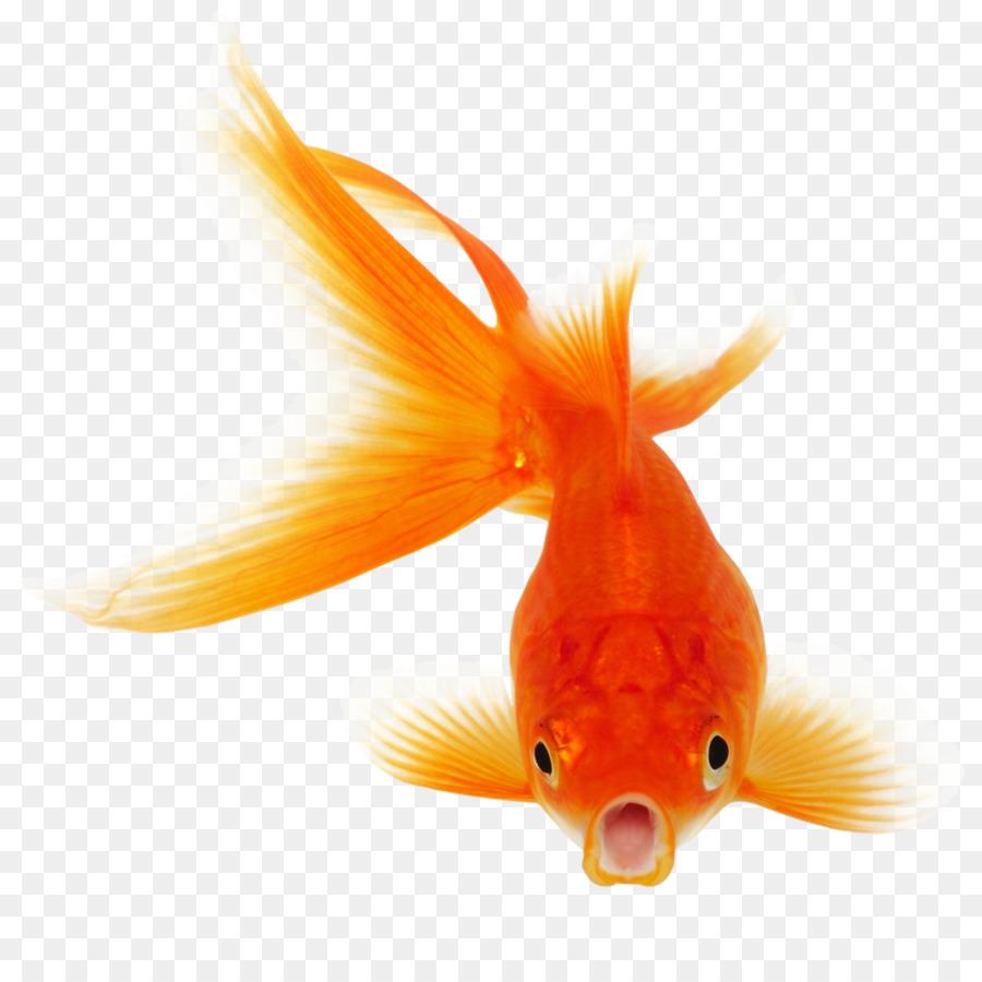 Fishing Cartoon Png Download 1024 1024 Free Transparent Goldfish Png Download Cleanpng Kisspng