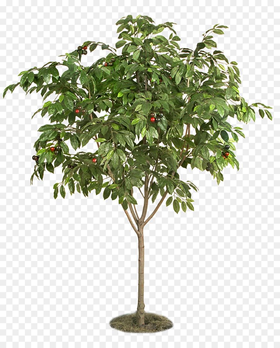 Foto Di Alberi Da Frutto bacca di alberi da frutta e piante di ciliegio - albero da