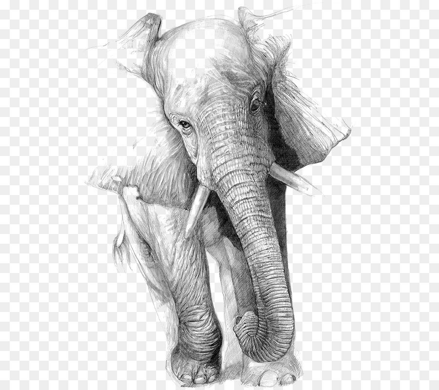 Indian Elephant Png Download 564 798 Free Transparent Drawing Png Download Cleanpng Kisspng Elephants are large mammals of the family elephantidae and the order proboscidea. indian elephant png download 564 798
