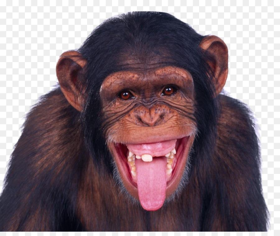 Scimmia Che Ride Disegno.Scimpanze Mandrillo Scimmia Scimmia Wukong Ride Orangutan