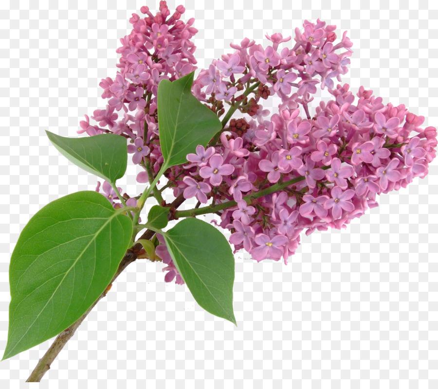 Bonsai Tree Png Download 1200 1048 Free Transparent Lilac Png Download Cleanpng Kisspng
