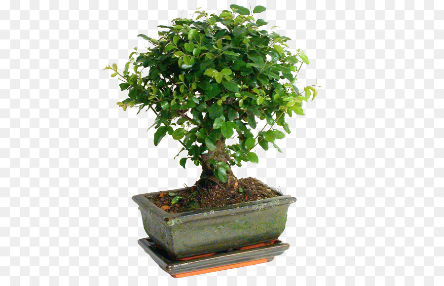 Fig Tree Png Download 580 576 Free Transparent Sageretia Theezans Png Download Cleanpng Kisspng