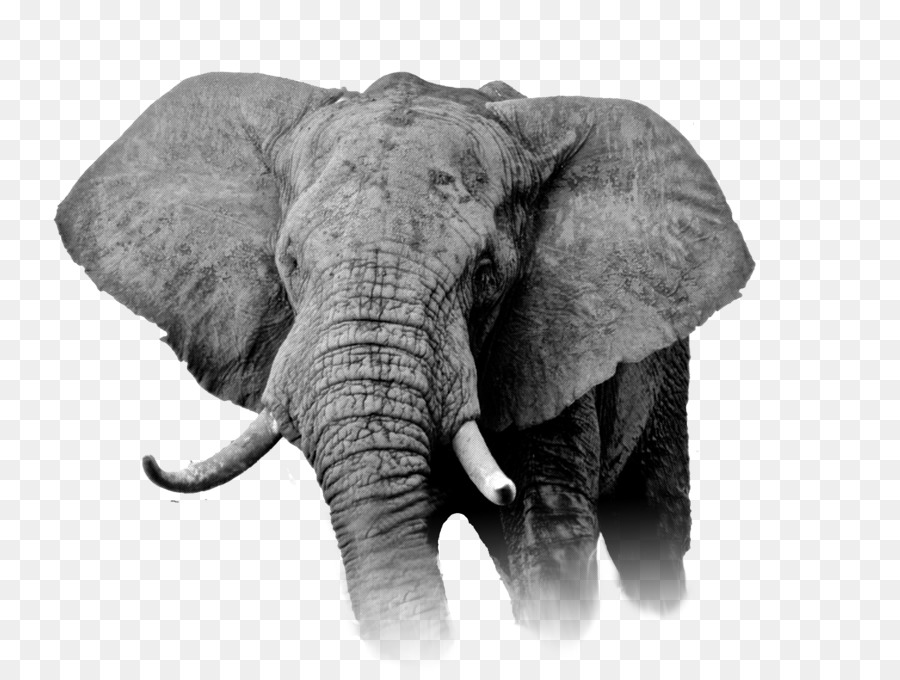 Indian Elephant Png Download 2262 1693 Free Transparent African Elephant Png Download Cleanpng Kisspng Republican elephant democrat donkey election ballot. clean png
