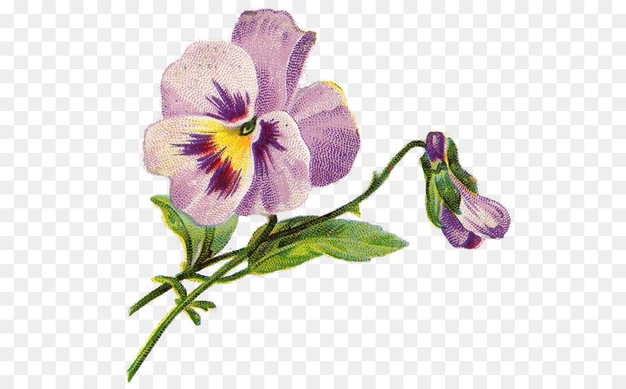 Виола цветок рисунок