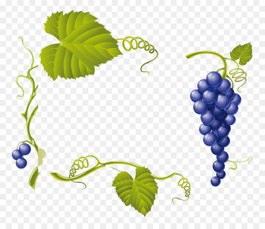 Drawing Of Family Png Download 3472 2968 Free Transparent Common Grape Vine Png Download Cleanpng Kisspng