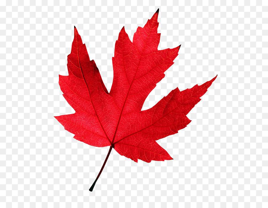 Red Maple Leaf Png Download 610 681 Free Transparent Autumn Leaf Color Png Download Cleanpng Kisspng
