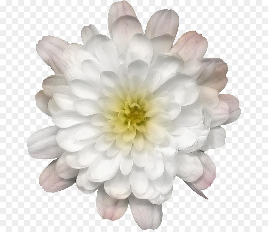 Chrysanthemen Dahlie Blute Chrysantheme Png Herunterladen 720