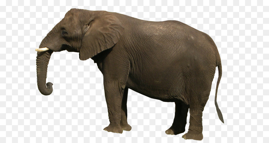 Indian Elephant Png Download 676 480 Free Transparent Asian