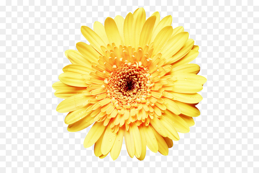 Flowers Clipart Background Png Download 600 600 Free Transparent Common Sunflower Png Download Cleanpng Kisspng