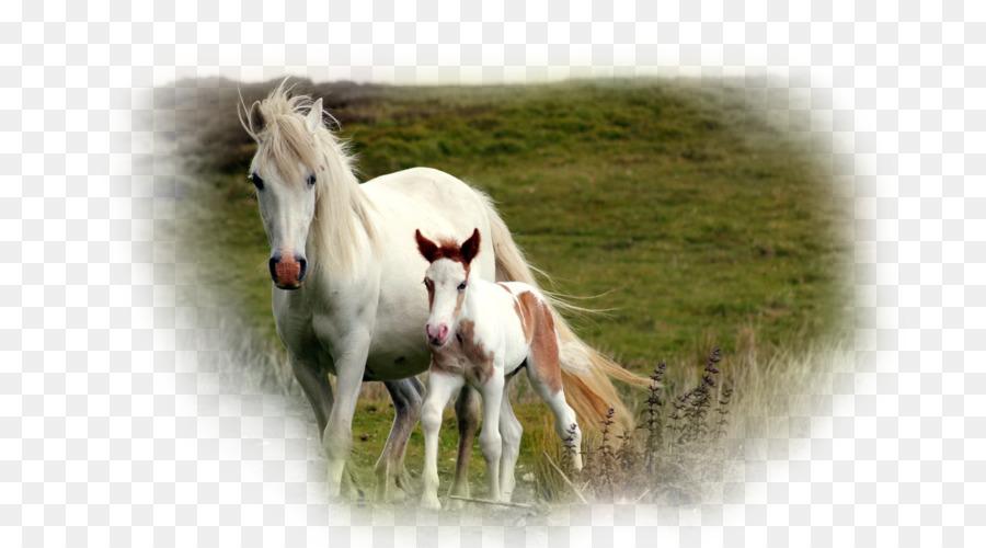 Eisbär Friesen Pferd Gypsy Horse Desktop Wallpaper Eisbär