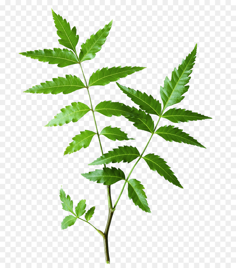 Neem Tree Png Download 800 1012 Free Transparent Neem Tree Png Download Cleanpng Kisspng Collection of christmas tree cartoon images (39). neem tree png download 800 1012