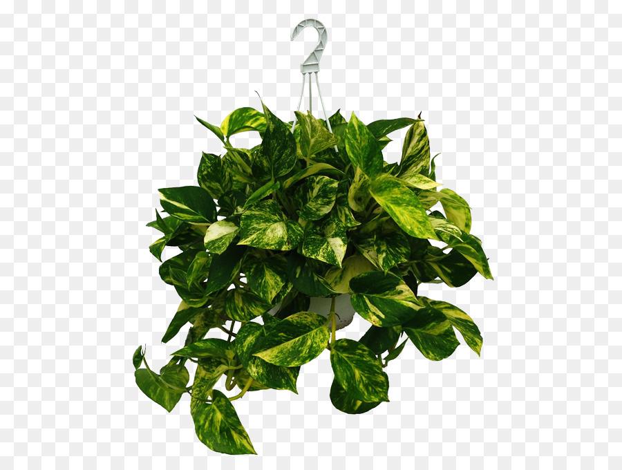 Basil Leaf png download - 600*676 - Free Transparent Plant ... on
