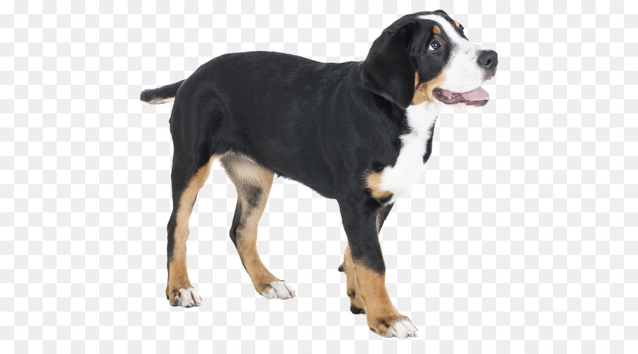Hunderasse Greater Swiss Mountain Dog Berner Sennenhund