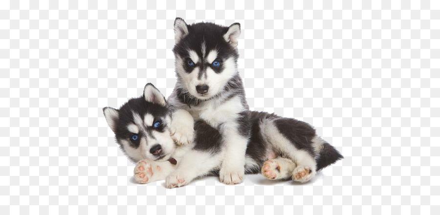 Dogs Cartoon Png Download 640 427 Free Transparent Siberian Husky Png Download Cleanpng Kisspng