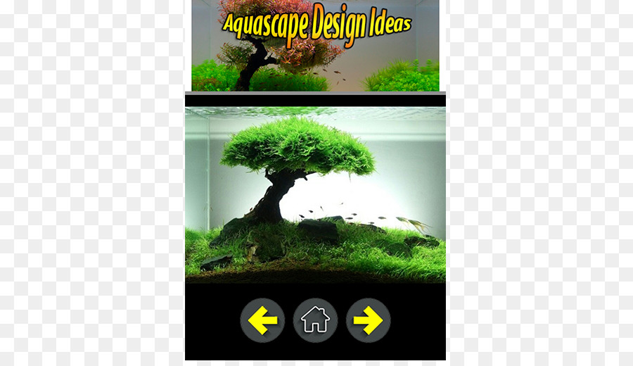 Bonsai Tree Png Download 512 512 Free Transparent Siamese Fighting Fish Png Download Cleanpng Kisspng