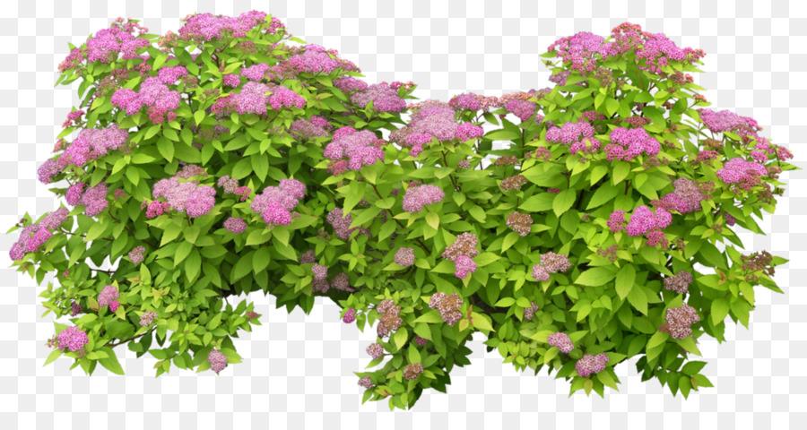 Pianta Fiori Rosa.Arbusto Da Fiore Rosa Pianta Fiore Scaricare Png Disegno Png