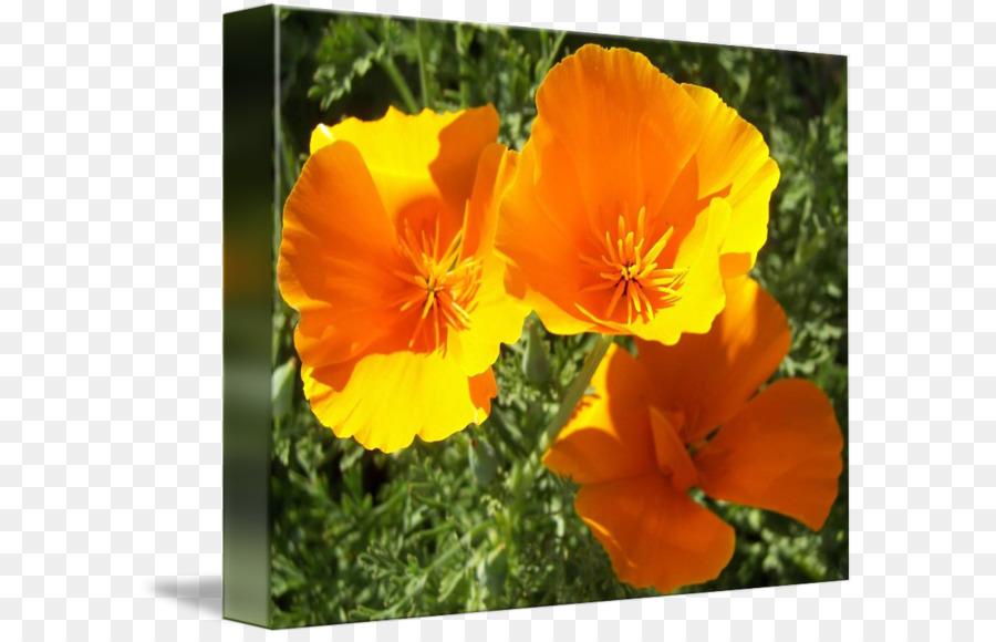 Poppy Flower Png 650 575