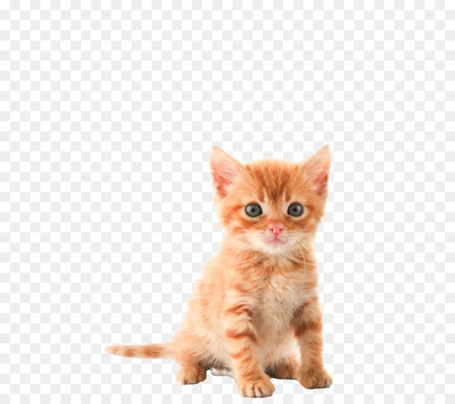 Cat Cartoon Png Download 537 800 Free Transparent Kitten Png Download Cleanpng Kisspng