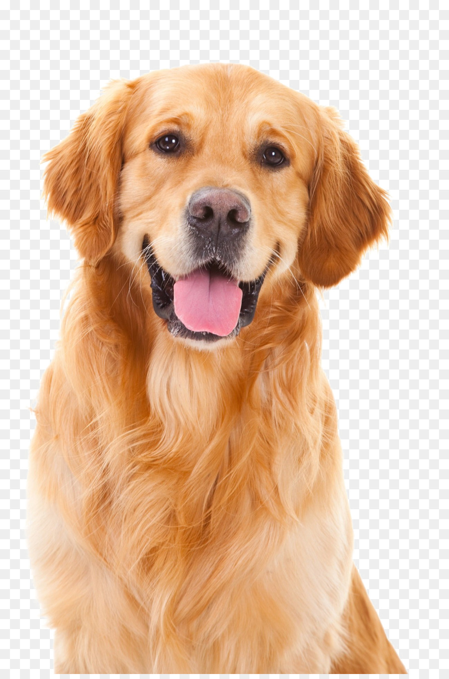 Golden Retriever Background Png Download 1300 1950 Free Transparent Puppy Png Download Cleanpng Kisspng