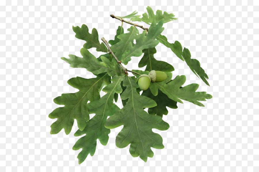 Oak Tree Leaf Png Download 600 600 Free Transparent Branch Png Download Cleanpng Kisspng