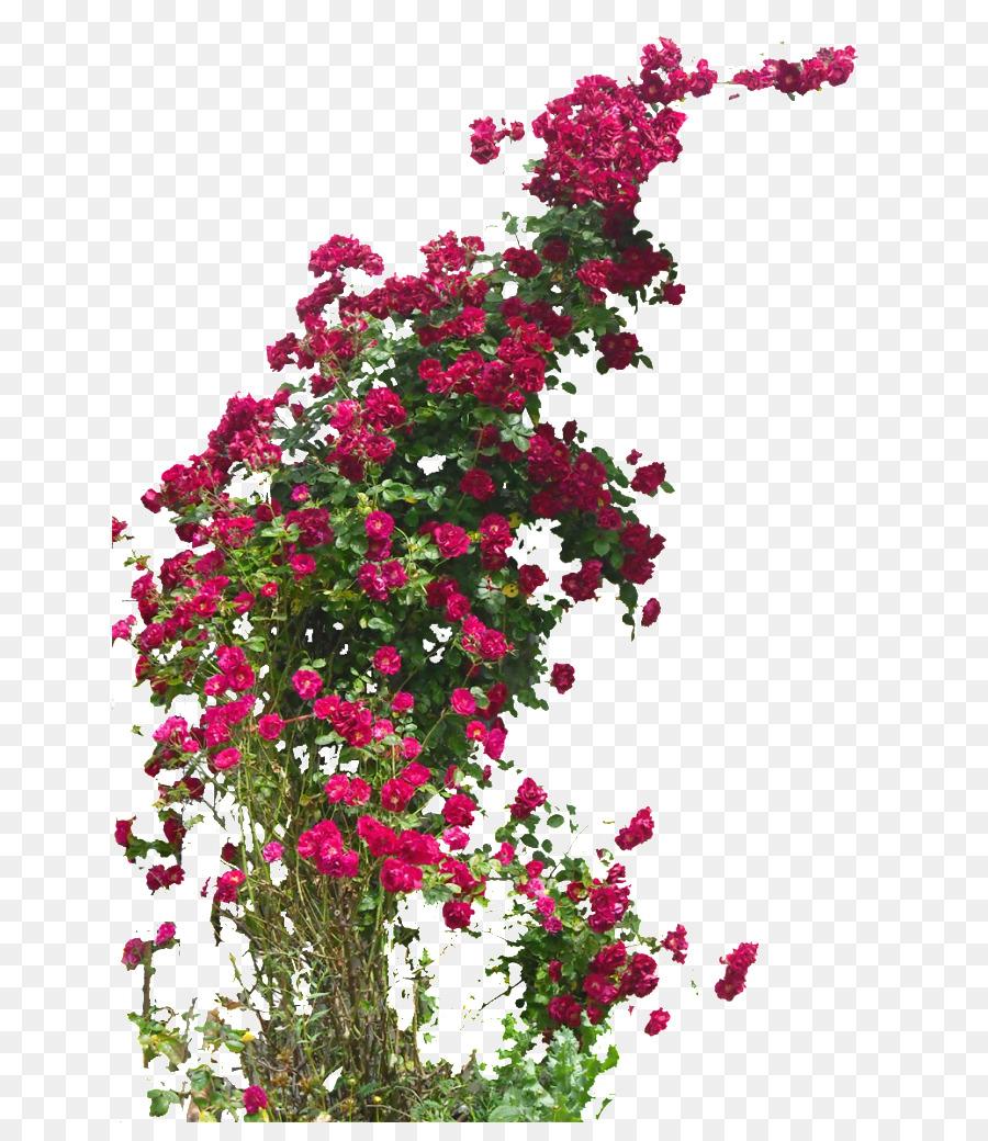 Piante Di Rose Rampicanti giardino di rose rambler-rose campo di rose di damasco rosa