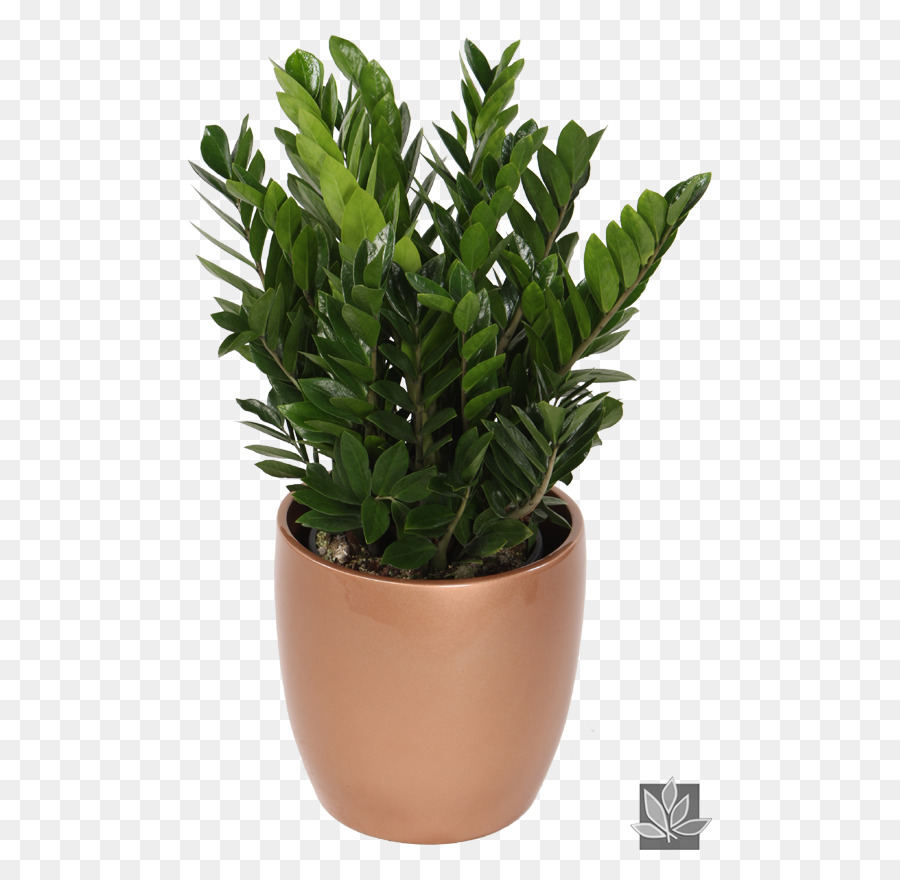 Pianta Da Appartamento Zamiifolia.Zamioculcas Zamilifolia Zamiifolia Pianta Da Appartamento Piante
