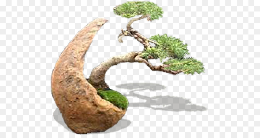 Bonsai Tree Png Download 560 480 Free Transparent Bonsai Png Download Cleanpng Kisspng