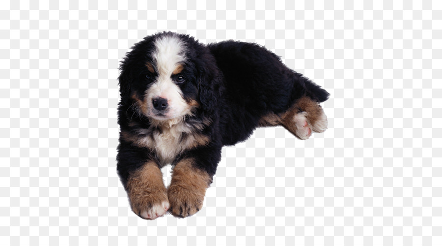 Berner Sennenhund Greater Swiss Mountain Dog Entlebucher