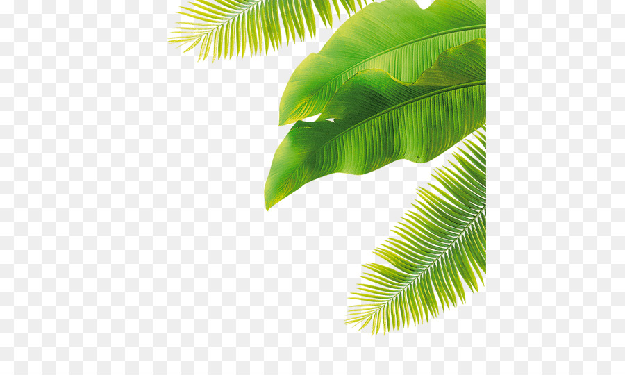 banana leaf clipart png download 500 533 free transparent banana png download cleanpng kisspng banana leaf clipart png download 500