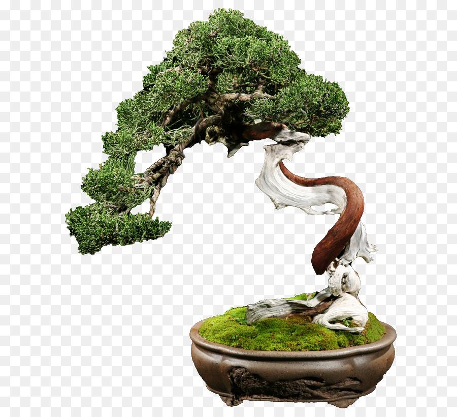 Bonsai Tree Png Download 670 814 Free Transparent Bonsai Png Download Cleanpng Kisspng