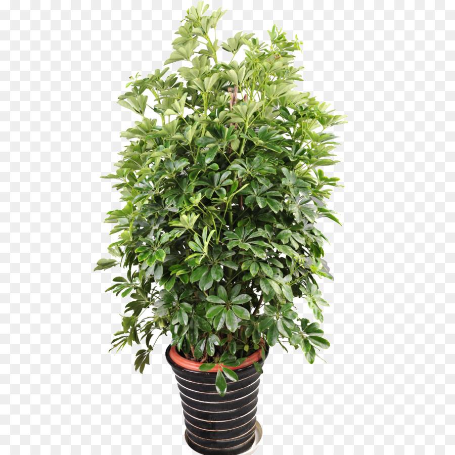 Foto Piante Da Appartamento Verdi vaso per piante da appartamento guiana verde castagna