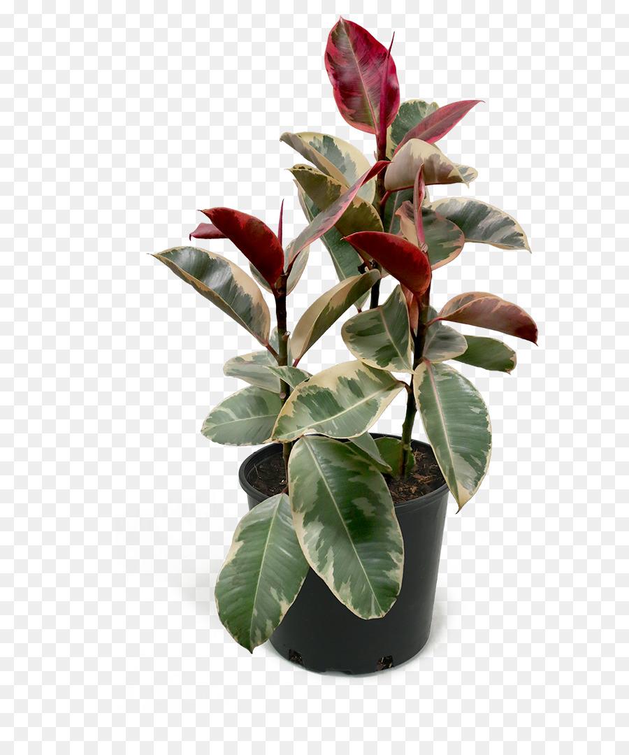 Come Riprodurre Il Ficus Benjamin fico di gomma pianta da appartamento fiddle fiddle fico che